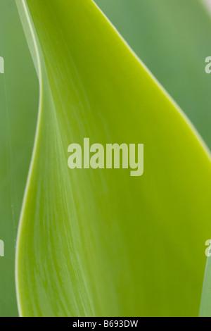 Grüne Blätter zeigt das Konzept der Lichtenergie in Zucker durch den Prozess der Photosynthese Stockfoto