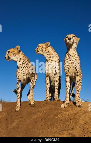Gepard Acinonyx Jubatus Hügel Geparden mit Termiten als Aussichtspunkt Namibia - Stockfoto