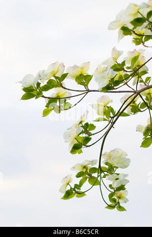 Weiße Blumen Blüte Hartriegel, Cornus Florida, Cornales, im Osten ...