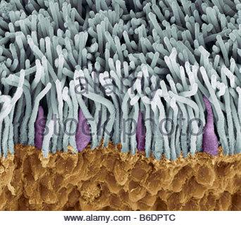 Netzhaut. Farbige Scan Elektron Schliffbild (SEM) der (gelben) Stäbchen und Zapfen in der Netzhaut des Auges (grün). - Stockfoto