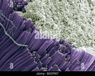 Sehne, farbig scannen Elektron micrograph(SEM), Bündel von Kollagenfasern zeigen - Stockfoto