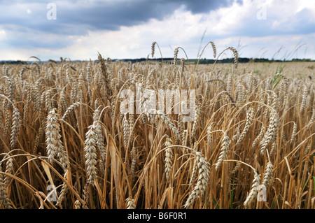 Getreide-Feld, Weizen, Isental Tal in der Nähe von Dorfen, Upper Bavaria, Bayern, Deutschland, Europa Stockfoto