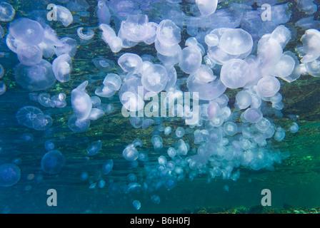 Massen von Aurelia Golden Moon Jelly Medusa blau lila Quallen gleiten Kristall Quallen Rote Meer Brennnessel Hintergrund Masse Stockfoto