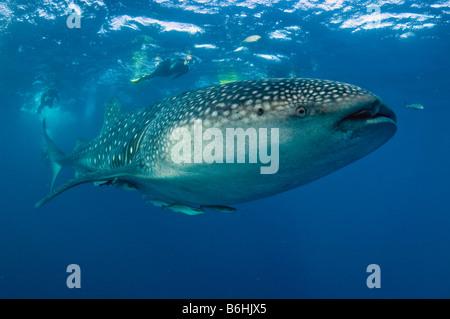 Ein Walhai Rhincodon Typus macht die größten Fische der Welt eine seltene Erscheinung vor der Küste von Palm Beach - Stockfoto