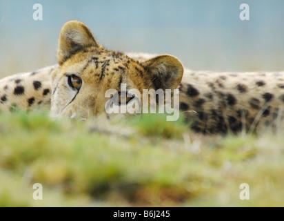 Nahaufnahme von einem schönen Gepard Acinonyx jubatus - Stockfoto