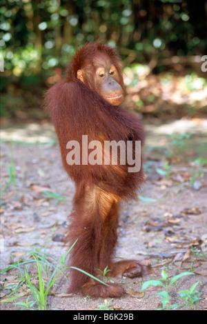 Bornean Orang-Utans (Pongo Pygmaeus) stehend rechts fast um Aufmerksamkeit - Stockfoto