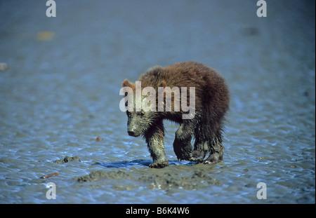 Muddy Faced Frühling Cub Alaska Lake Clark National Park Braunbär Ursus arctos - Stockfoto