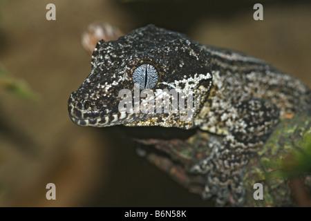 Rhacodactylus auriculatus - Stockfoto