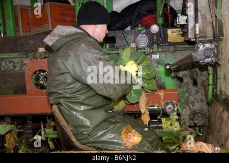 Gärtner und Landarbeiter ernten Rosenkohl Gemüse Getreide, frisches Gemüse, gerade rechtzeitig für Weihnachten. - Stockfoto