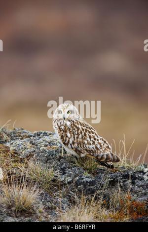 Short-eared Eule Asio Flammeus, See Myvatn Island - Stockfoto