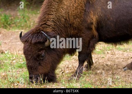 Ein American Buffalo Bisons grasen im östlichen Nebraska USA 23. September 2008 - Stockfoto