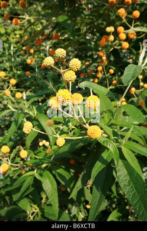 Buddleja (Sommerflieder) Globosa in voller Blüte (Orange Ball Baum) - Stockfoto