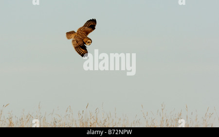 Sumpfohreule, Asio Flammeus, Flug - Stockfoto