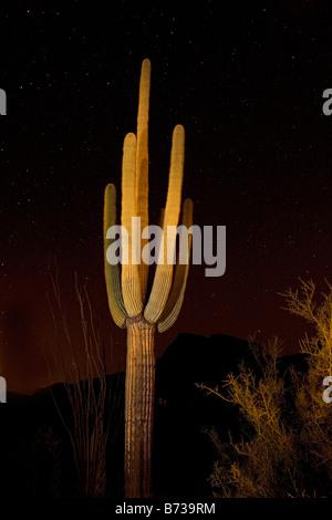 Saguaro Kaktus Carnegiea Gigantea fotografiert bei Nacht Saguaro-Nationalpark Arizona - Stockfoto