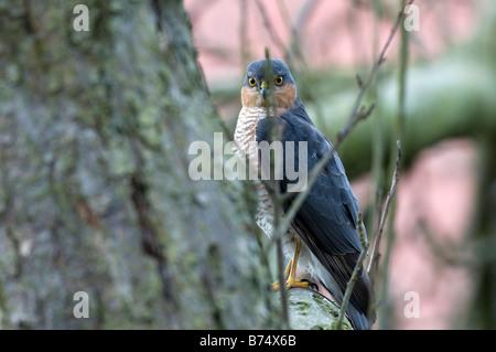Sperber (Accipiter Nisus) - Stockfoto