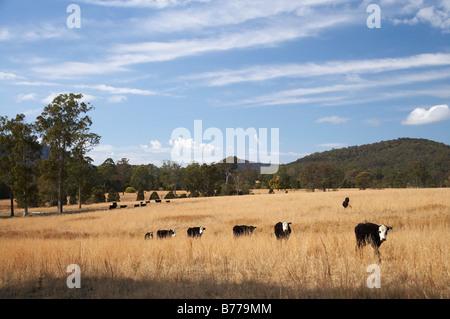 Kühe und trockenes Ackerland in der Nähe von Wauchope New South Wales Australien - Stockfoto