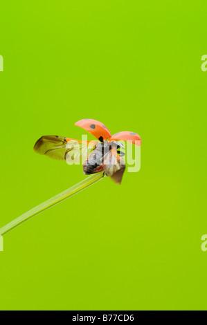 7-Punkt Marienkäfer, sieben gefleckten Marienkäfer (Coccinella Septempunctata) - Stockfoto