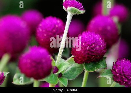 Gomphrena Globosa 'rund um Purple' Globe Amaranth Blume Blüte Blüte lila Flieder - Stockfoto