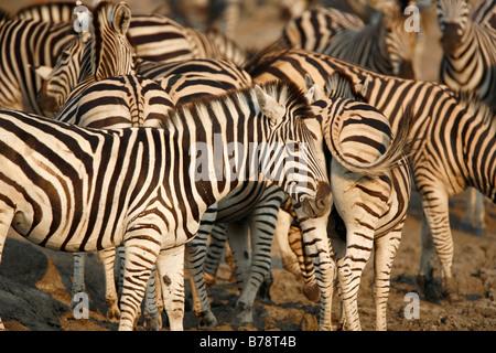 Herde von Burchells Zebra versammelten sich in einem wateringhole - Stockfoto