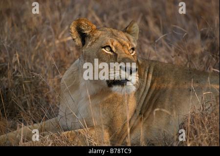 Porträt von einer Löwin mit einer Verletzung verursacht ihr Eckzahn, weibliche Löwen Blick in die Sonne halten - Stockfoto