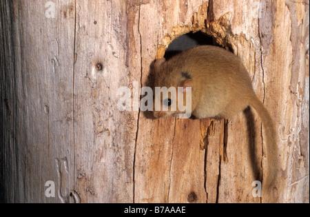 Hazel Dormouse (Muscardinus Avellanarius) in ein Loch in einem Baum - Stockfoto