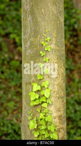 Ivy schleicht sich ein Baumstamm