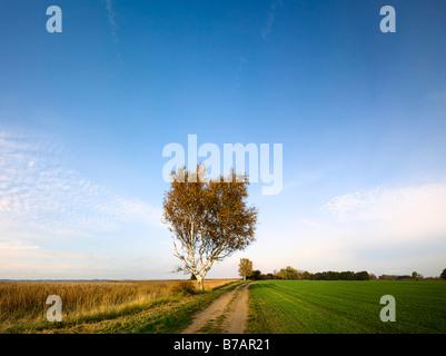 Landwirtschaftlichen weg mit Birke im Lieper Winkel auf der Insel Usedom, Mecklenburg-Vorpommern, Deutschland, Europa - Stockfoto