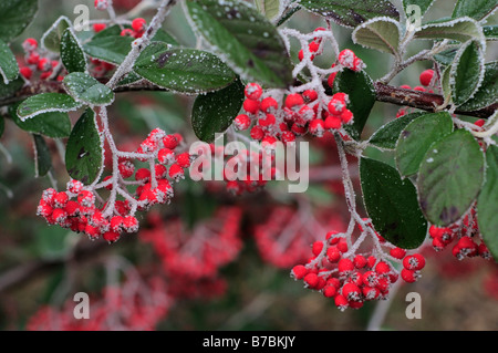 rote beeren im winter mit frost bedeckt stockfoto bild 21763358 alamy. Black Bedroom Furniture Sets. Home Design Ideas