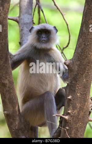 Hanuman-Languren (Semnopithecus Entellus)-Affe sitzt im Baum Ranthambhore Nationalpark Indien - Stockfoto