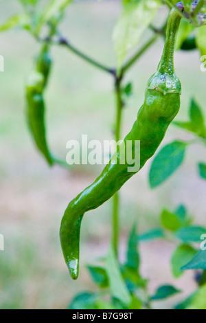 Grüne Chilischoten wachsen im freien - Stockfoto
