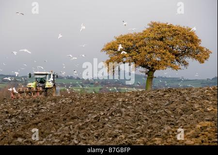 Ein Traktor Pflüge ein Feld während von einem Schwarm von Möwen verfolgt. - Stockfoto