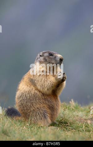 Alpine Murmeltier (Marmota Marmota) auf den Hinterbeinen sitzend - Stockfoto