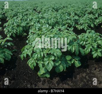 Kartoffelpflanzen auf Graten in dunklen Fenland organischen Böden - Stockfoto