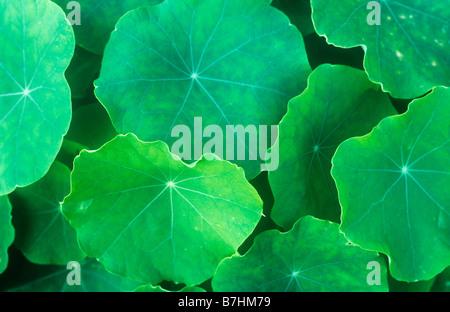Nahaufnahme eines kreisförmigen geäderten grünen Blätter der Kapuzinerkresse oder Tropaeolum majus - Stockfoto