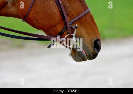 Detail des Pferdes (Equus Caballus) Fang - Stockfoto