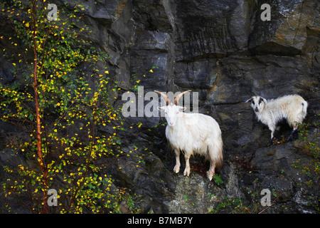 Ziege und Kind ausgewogen auf Klippe Felsen neben herbstlichen Baum Highlands Schottland - Stockfoto