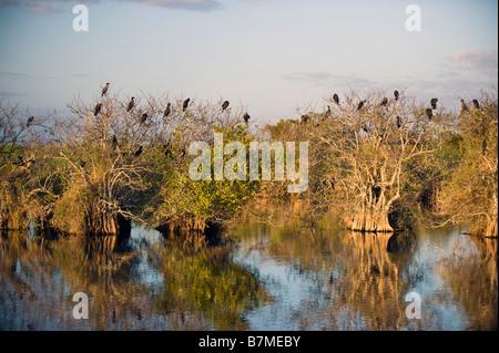 Anhinga und Kormoran-Kolonie in Florida Everglades Nationalpark - Stockfoto