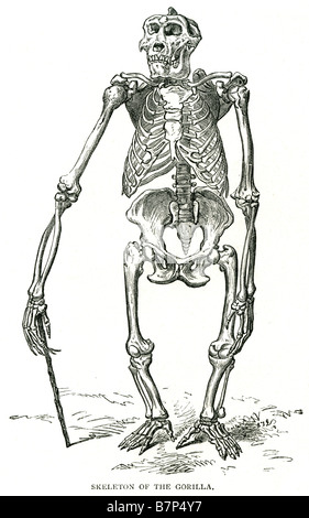 Skelett Gorilla Knochen Geschicklichkeit Rippen Boden Wohnung Pflanzenfresser Achsschenkel zu Fuß - Stockfoto
