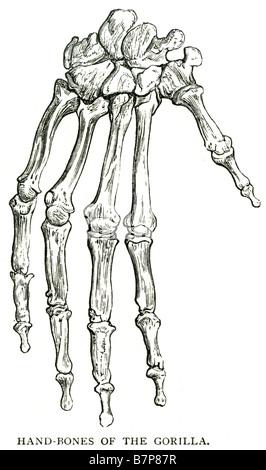 Alten gravierten Abbildung von Skelett von Gorilla isoliert auf ...