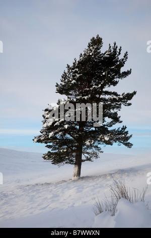 Kalte Landschaft Von Winter Schnee mit tiefen driftet & isolierte Caledonian Pinien auf invercauld Immobilien Moorland, - Stockfoto