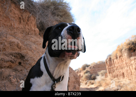 Nahaufnahme von Boxer-Pitbull Kreuz keuchend in der Hitze - Stockfoto