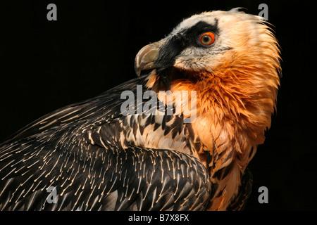 Bartgeier, sollten Barbatus, Bartgeier, Acciptridae, Falconiformes, Ossifrage, Knochen, Karkassen, Europa, Afrika, - Stockfoto