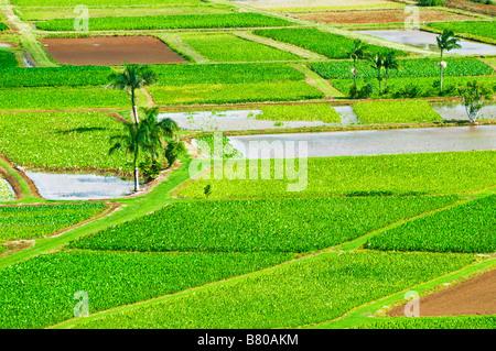 Taro-Felder in Hanalei Tal Insel Kauai Hawaii - Stockfoto