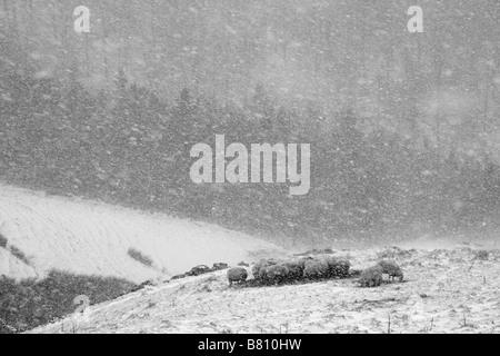 Schafe in einem Schneesturm - Stockfoto