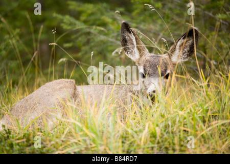 Maultier-Rotwild in der Nähe von Maligne Lake, Jasper Nationalpark, Alberta, Kanada - Stockfoto