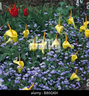 Detail einer Blüte Grenze bei Great Dixter mit Arum creticum