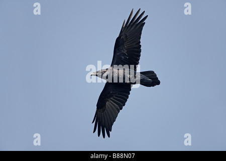 RAVEN Sie Corvus Corax im Flug über Klippen South Stack Anglesey UK September - Stockfoto