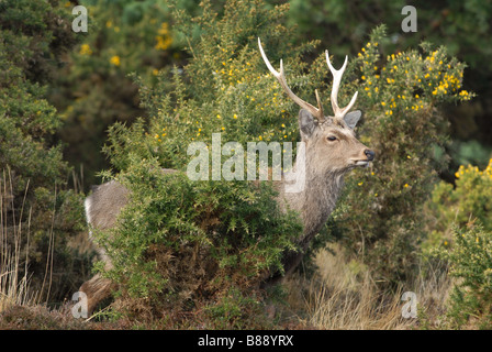 Sika Hirsch Cervus Nippon Spaziergang durch Ginster - Stockfoto
