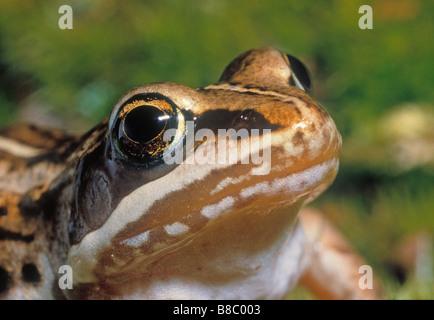 Holz-Frosch, Kananaskis Country, Alberta - Stockfoto