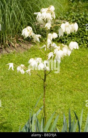 Weiße Blüten von Adams Nadel, Bear Grass, schwach-Blatt Yucca ...